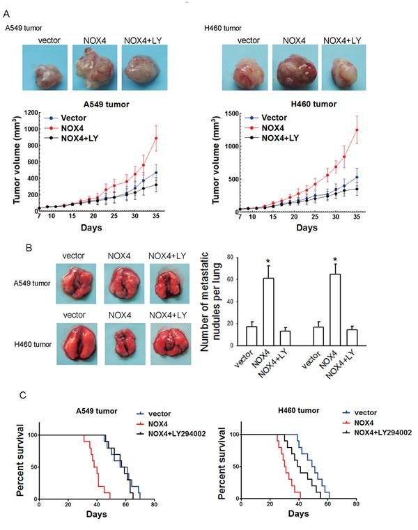 Figure 5; NOX4 promotes NSCLC progression through activating PI3K/Akt pathway