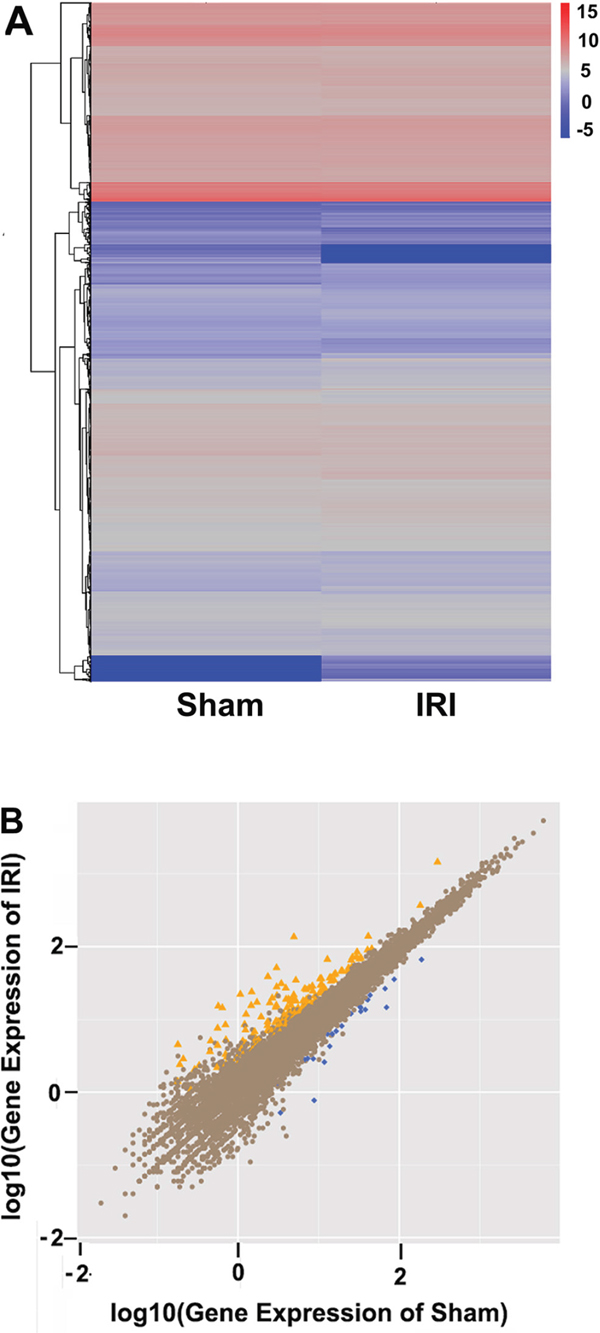 Comparison between sham and IRI/24 h groups by RNA sequencing.