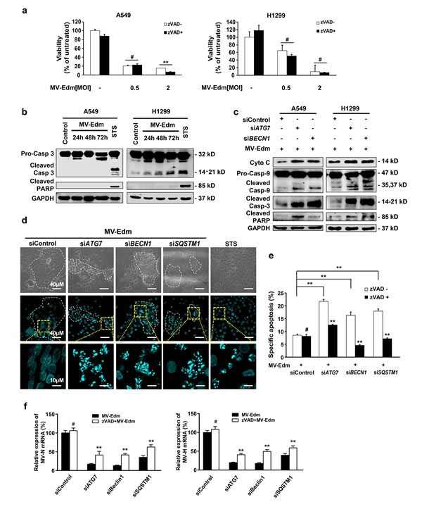 Autophagy protects NSCLCs from apoptosis leading to enhanced viral replication.