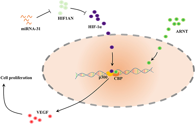 Schematic of the described interaction between miRNA-31, HIF1AN and VEGF.