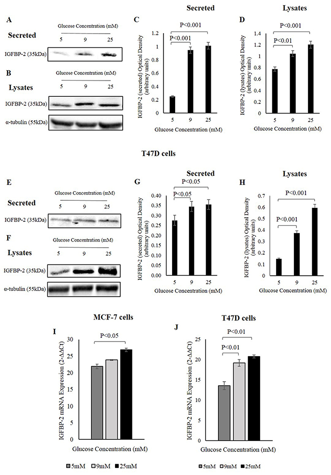 IGFBP-2 increases in response to different glucose levels.