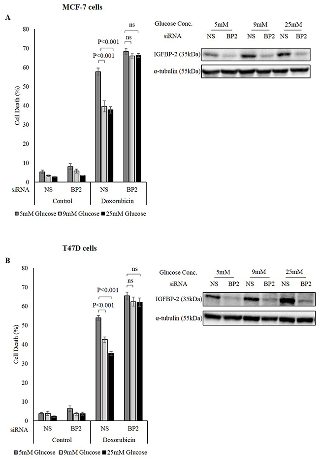 The role of IGFBP-2 in hyperglycaemia-induced chemo-resistance.