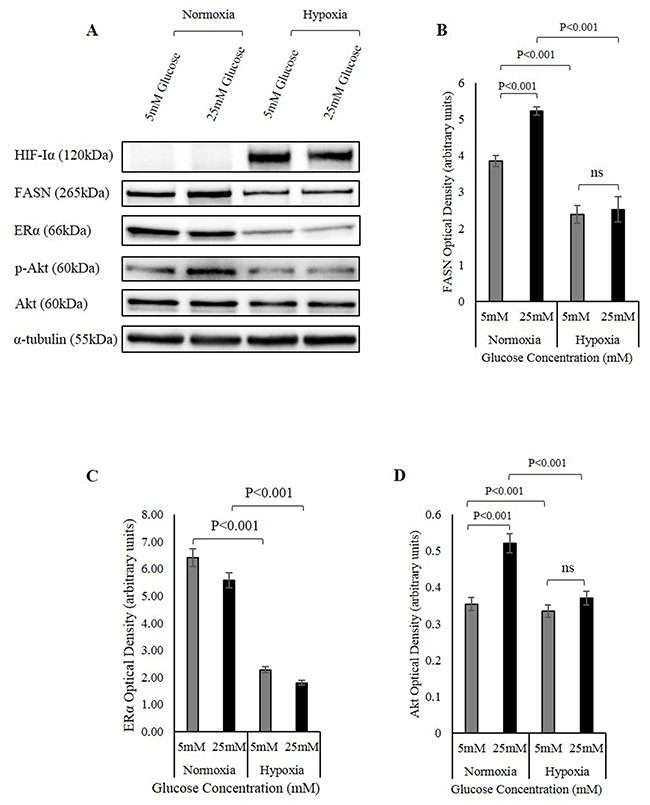The involvement of the FASN/ERα/Akt pathway in hypoxia regulation of IGFBP-2.
