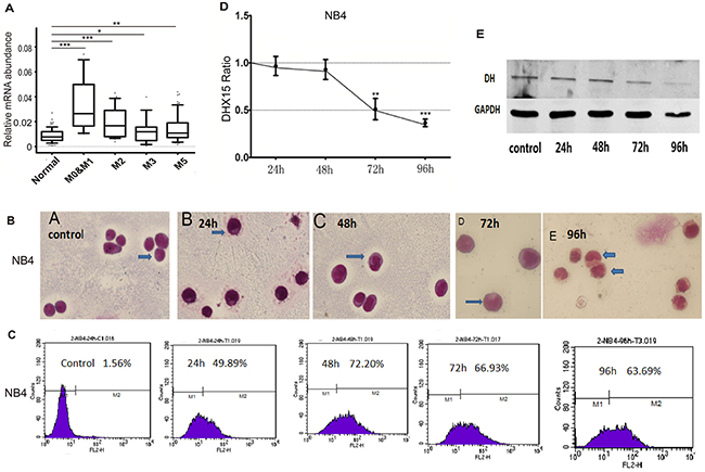 DHX15 may be associated with hematopoietic cell differentiation.