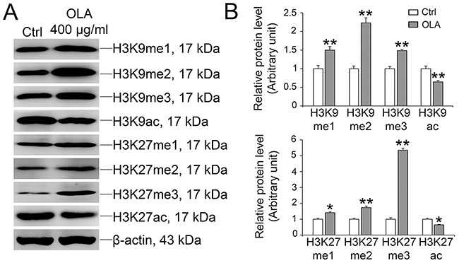 OLA increases the methylation and decreases acetylation of H3K9 and H3K27.