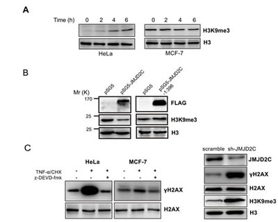 Cleavage of JMJD2C by caspase-3 inactivates its demethylase activity.