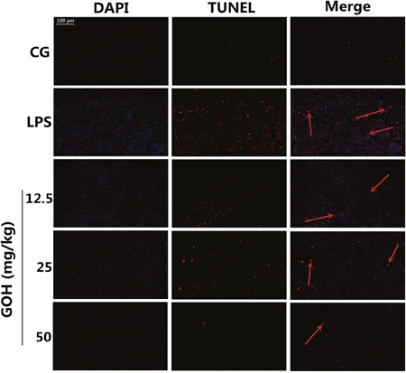 Apoptosis detection of LPS-induced lung injury.