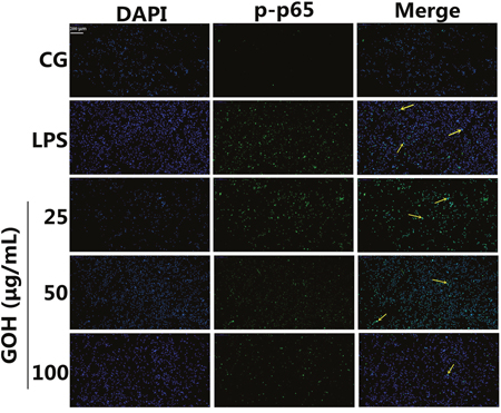 Effects of GOH on NF-κB p65 translocation into the nucleus.