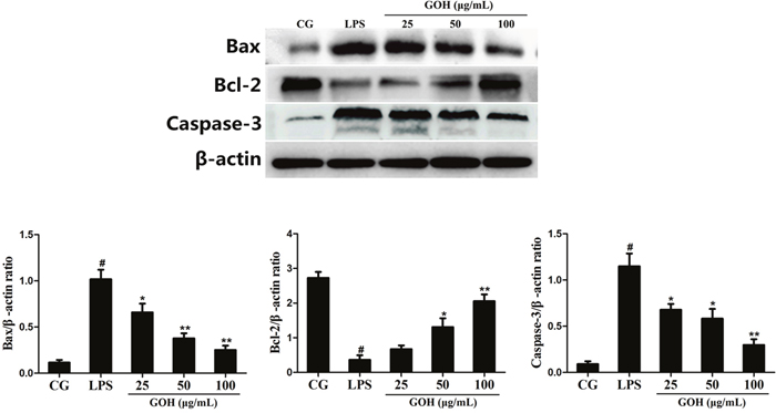 Effects of GOH on the levels of apoptosis-related proteins Bax, Bcl-2, and Caspase-3 in LPS-stimulated RAW 264.7 cells.