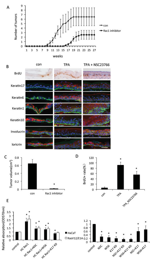 Rac1 is involved in keratinocyte proliferation.