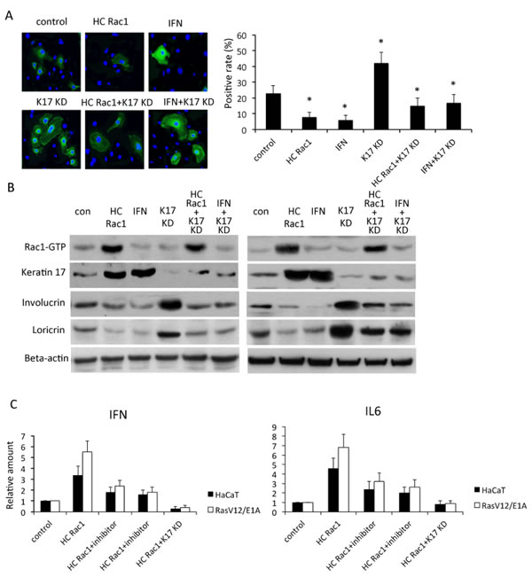Rac1 is involved in keratinocyte differentiation.