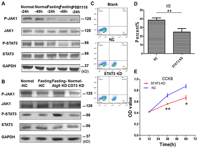 Fasting suppresses M2 polarization of macrophages through inactivating JAK1/STAT3 signal pathway in coculture condition.