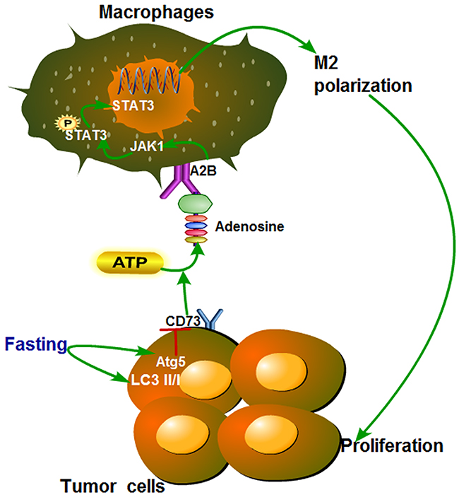 Proposed model of the effect of fasting on STAT3 pathway during polarization of tumor-associated macrophages.