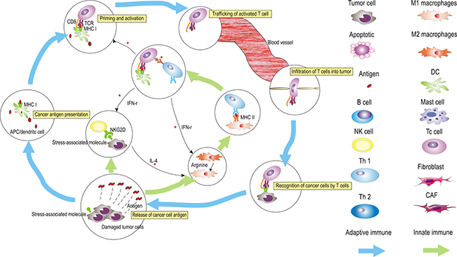 The generation of tumor immunity is a cyclic process that can be self-propagating, leading to the accumulation of immuno-stimulatory factors that, in principle, should amplify and broaden adaptive immune responses.