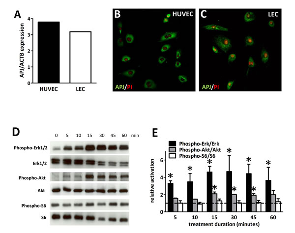 Expression and activation of APJ receptor in LECs.