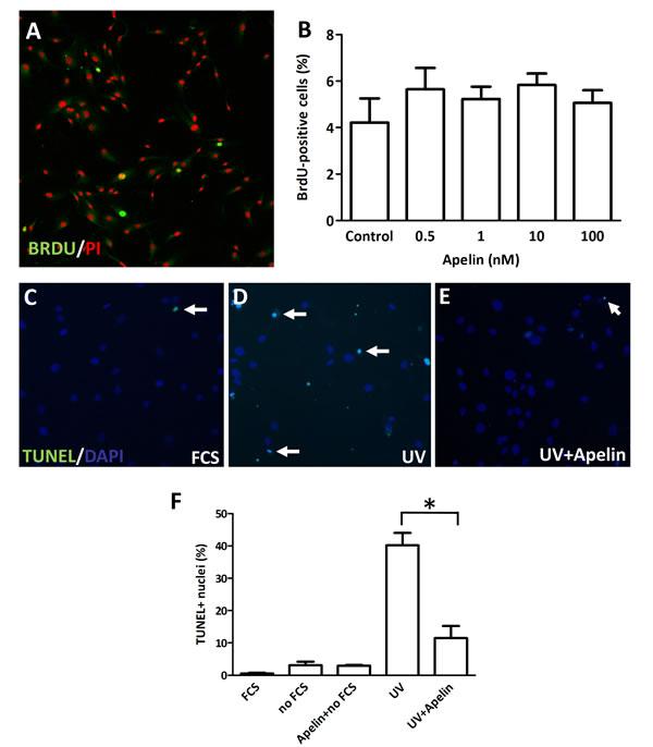 Proliferation and apoptosis of LECs following apelin treatment.