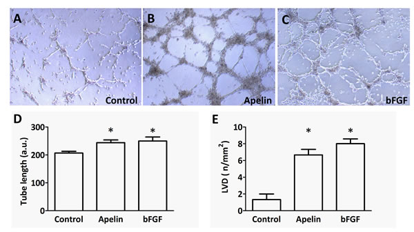 Tube formation capacity of LECs upon apelin treatment
