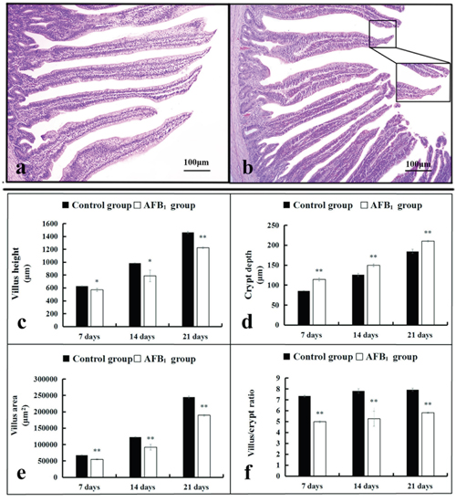 The histological structure of jejunum and the values of microscopic quantitative analysis.