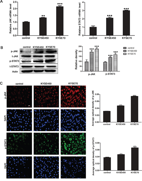 JAK/STAT3 signaling pathway was activated during the transition of NECs toward TECs induced by KYSE450 or KYSE70 TCM.