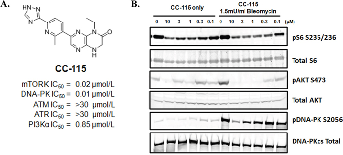 CC-115 inhibits mTOR and DNA-PK in NCI-H441 cells.