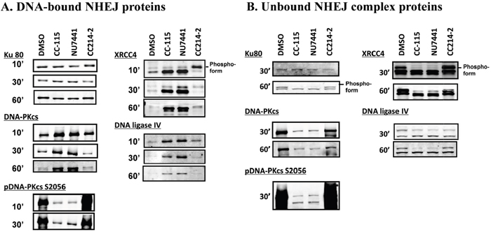 CC-115 prevents dissociation of DNA-PK, XRCC4, and DNA ligase IV from dsDNA breaks.