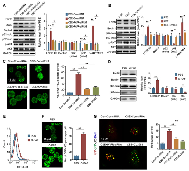 PAFR mediates CS-induced autophagy in neutrophils.