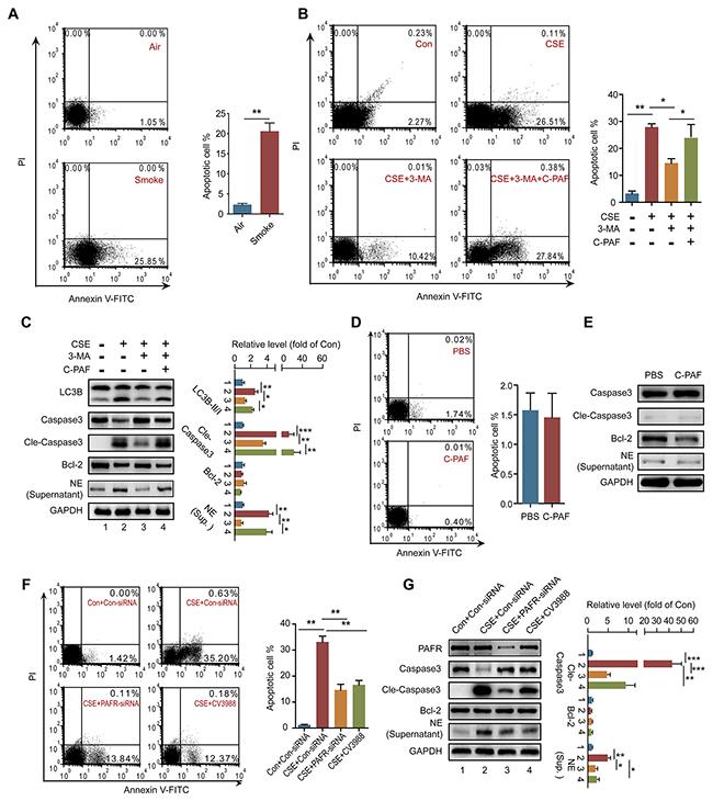 PAFR mediates CSE induced neutrophil death through autophagy.