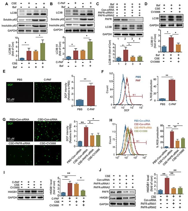 CS exposure increases ROS production in neutrophils.