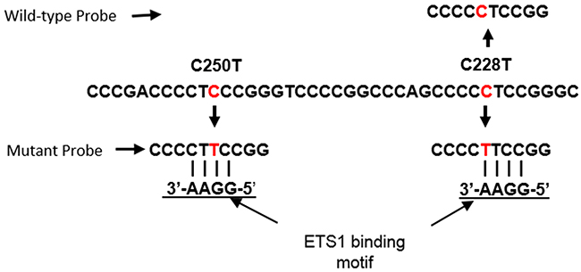 Location of ddPCR assay probes relative to ETS1 binding motifs generated by the C228T and C250T TERT promoter mutations.