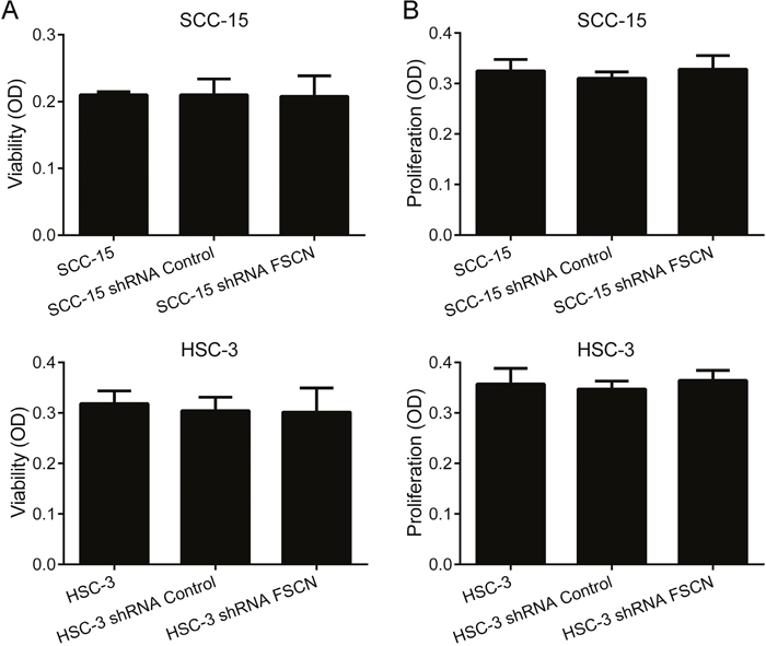 Downregulation of fascin does not affect viability or proliferation of SCC-15 and HSC-3 cells.