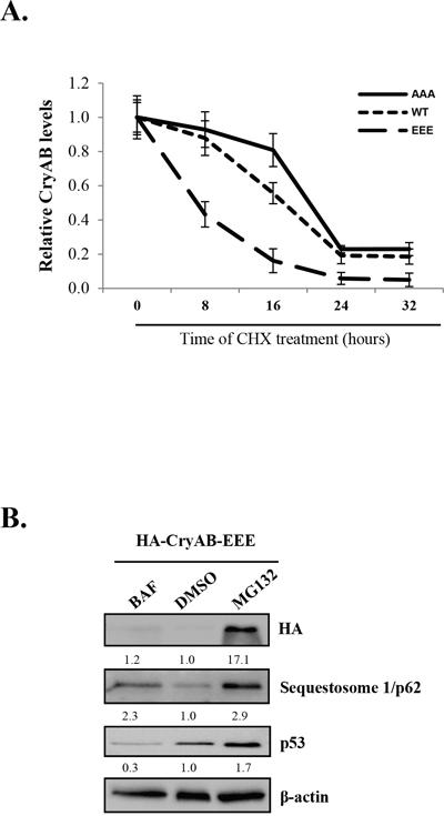 Phosphorylated CryAB exhibits reduced stability.