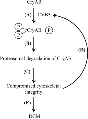 Proposed function and mechanism of CVB3-mediated CryAB dysregulation in the development of viral cardiomyopathy.
