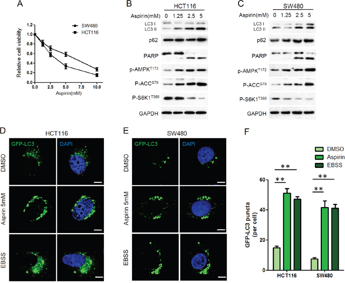 Aspirin inhibited proliferation and induced autophagy in HCT116 and SW480 cells.