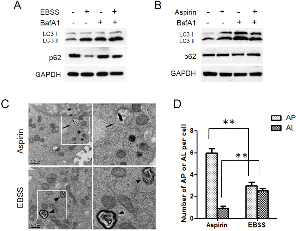 Autophagic degradation was blocked in aspirin treated SW480 cells.