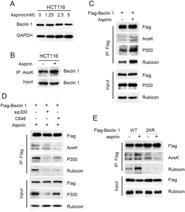 Aspirin enhanced p300-mediated Beclin 1 acetylation on lysine 430 and 437.