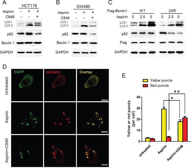 Aspirin-mediated Beclin 1 acetylation inhibits autophagic degradation.