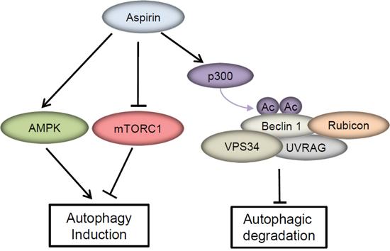 A model of the molecular linkage between aspirin, Beclin 1 acetylation and autophagy.