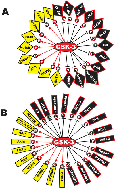 Diversity of GSK-3 Substrates.