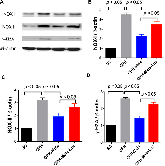 Changes in protein expressions of oxidative and DNA damage markers at 30 days in mice with chronic cerebral hypoperfusion.