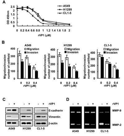 rVP1 suppresses the migration/invasion of lung cancer cells