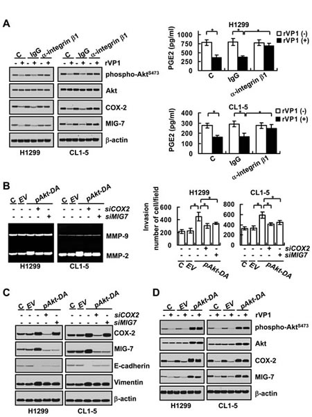 rVP1 binds to integrin to inhibit COX-2 and MIG-7 and decrease lung cancer cell invasion.