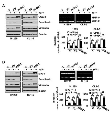 Overexpression of COX-2 and MIG-7 reverses rVP1-mediated inhibition on EMT, MMP-2 activity and lung cancer cell invasion.