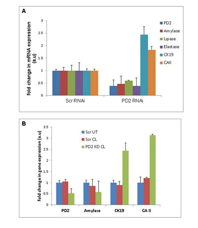 Variation in acinar and ductal lineage markers due to knockdown of PD2/Paf1 expression in pancreatic acinar cells.