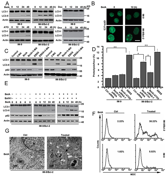 BetA induces autophagic cell death in IM-9/Bcl-2 not in IM-9 cells.