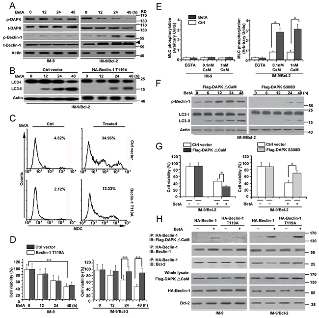 DAPK-mediated Beclin-1 phosphorylation contributes to BetA-induced autophagic cell death.
