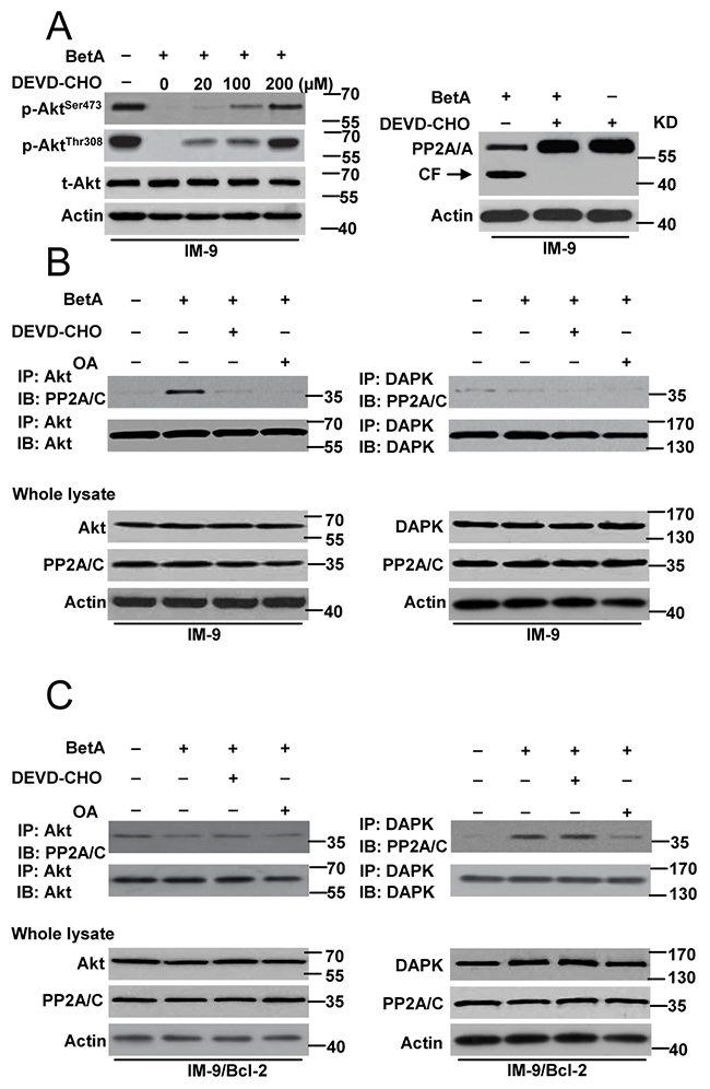PP2A mediates autophagic cell death or apoptosis through regulating its connection with Akt and DAPK.