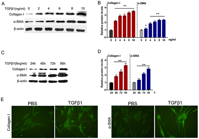 TGFβ1 effectively induced fibrosis process in primary human oral submucosa fibroblasts.