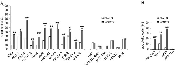 CDT2 suppression affects viability of cancer cells (grouped on the left), but not that of non-transformed cells (grouped on the right).