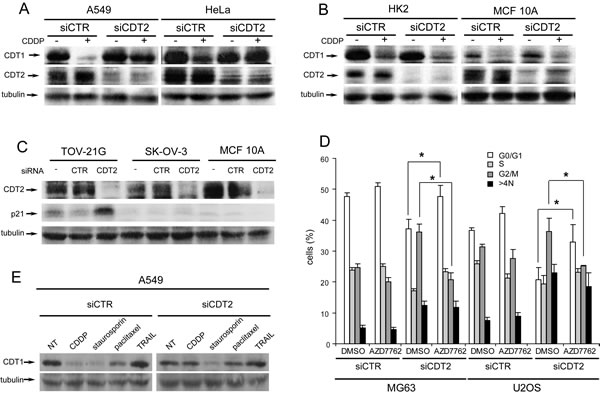 Loss of CDT2 affects the degradation of CDT1 in cancer, but not in non-transformed cells.