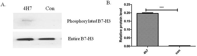 Phosphorylated B7-H3 protein was detected in the phosphoprotein fraction purified using a Qiagen Phosphoprotein Purification Kit in the Patu8988 cell line.